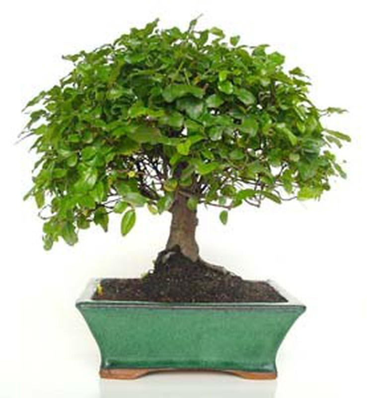 Bonsai Sageretia Theezans La Jardinerie Del Valles Your Online Gardening Upholstery And Horticulture Store