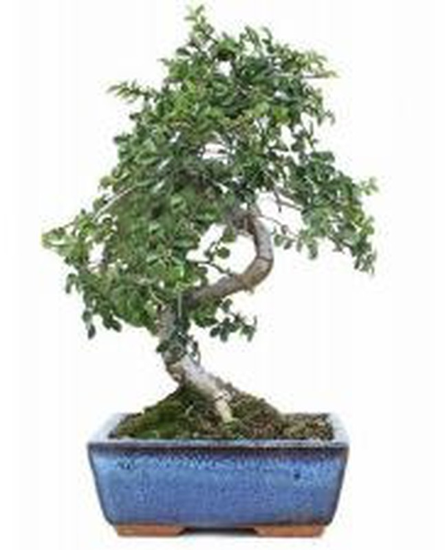 Bonsai Zelkova Parvifolia Chinese Elm La Jardinerie Del Valles Your Online Gardening Upholstery And Horticulture Store
