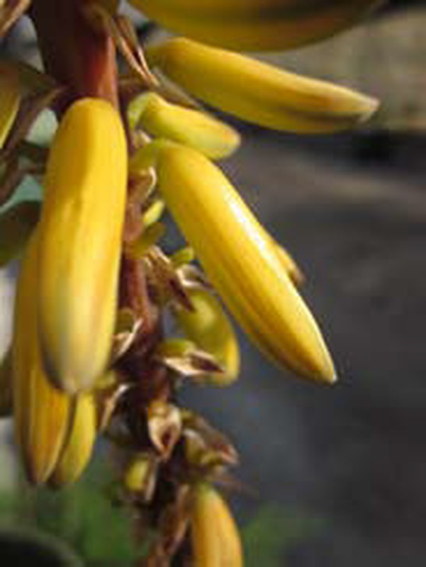 Fleur comestible de l'Aloe vera — La Jardinerie Créative, votre boutique en ligne du Jardin ...
